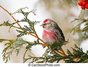 winter., mužský, obyčejný, redpoll