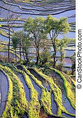 yuanyang, uspořádat terasovitě, rýže, yunnan, čína