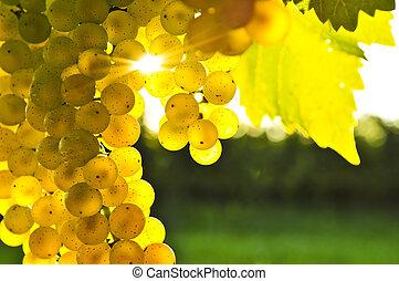 zbabělý, zrnko vína