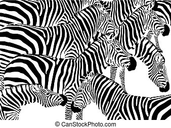 zebra-herde
