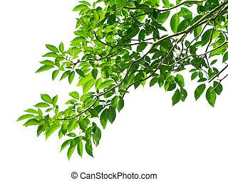 Zelené listí na bílém pozadí