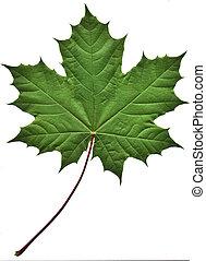 Zelenej javorový list
