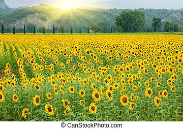 zemědělství, slunečnice