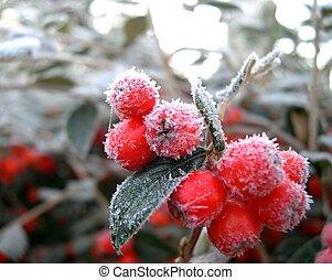 Zimní berry