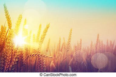 Zlaté pole a slunečný den