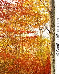 zlatý, paprsek, větvit, slunit se, autumn les